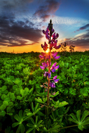 Illuminated Lupin Flower